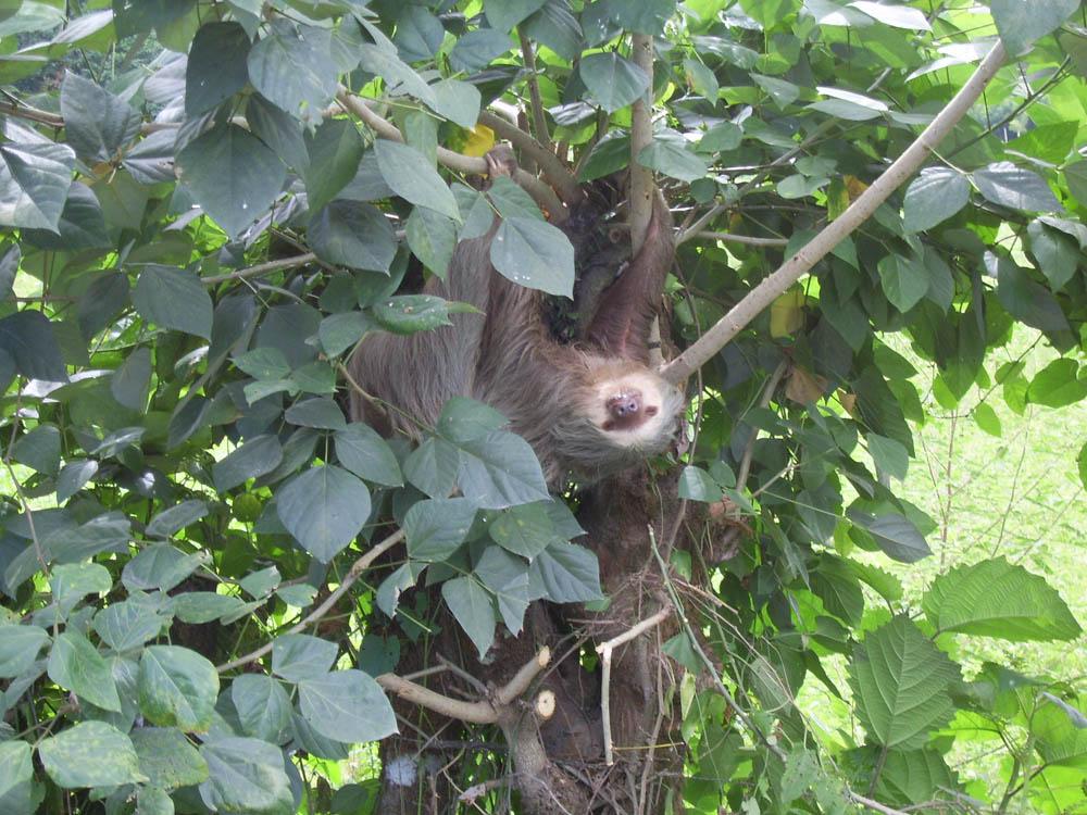 Ленивец из Коста-Рики