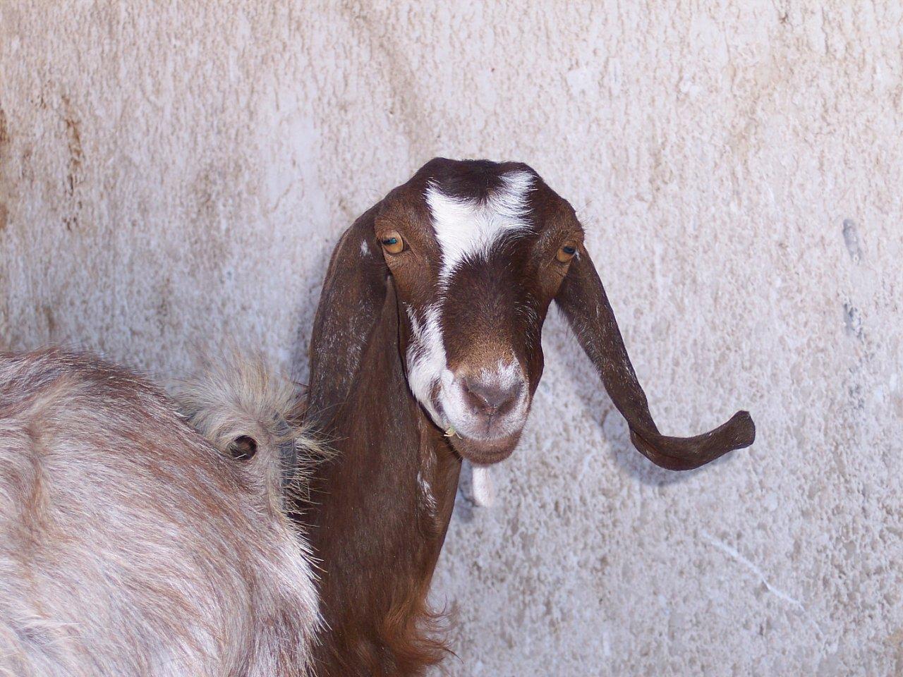 Всеядная египетская коза