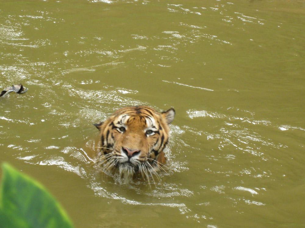Купание малазийского тигра