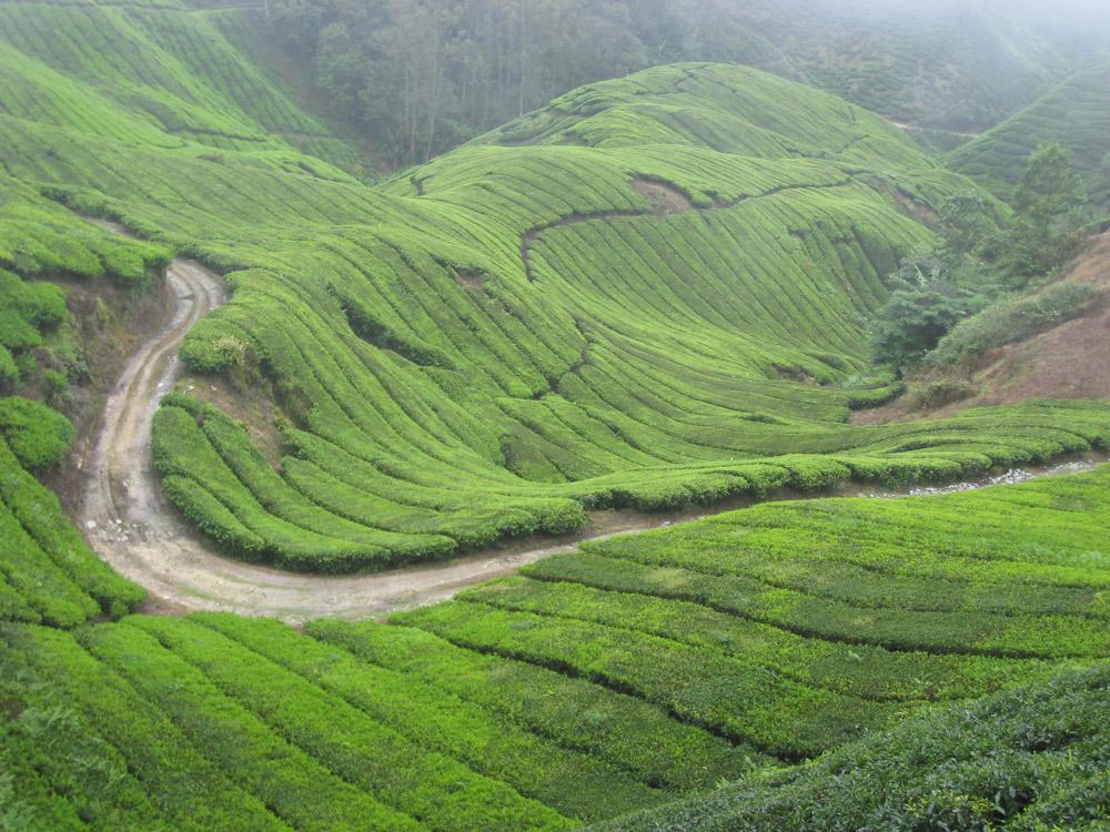 Чайные плантации, Малайзия