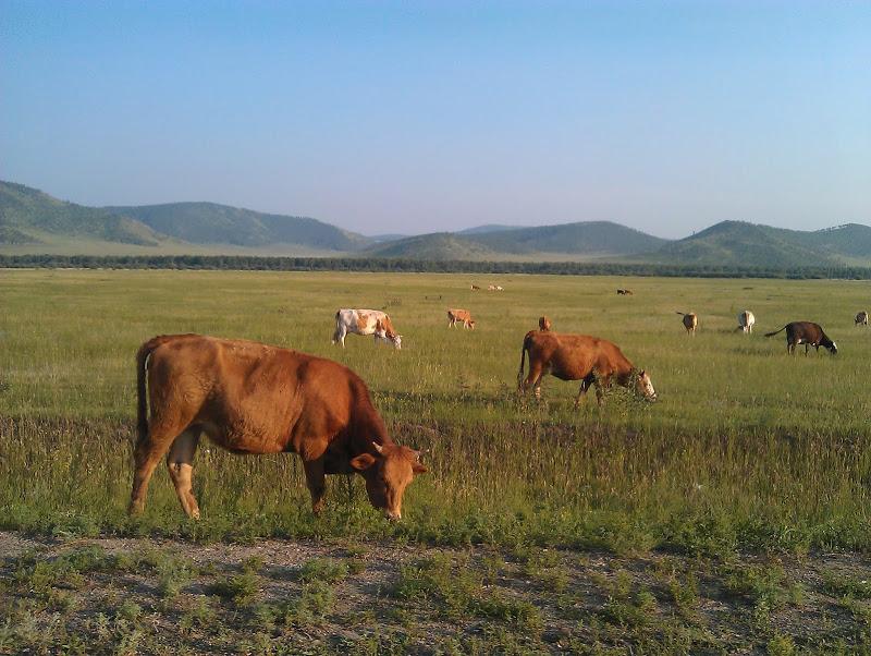 Хакасские коровы