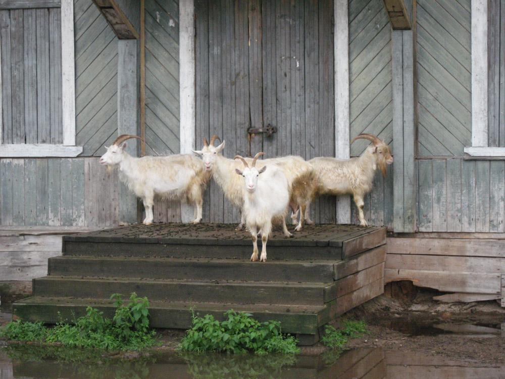 Вологодские козы